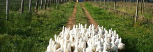 Avondale-ducks